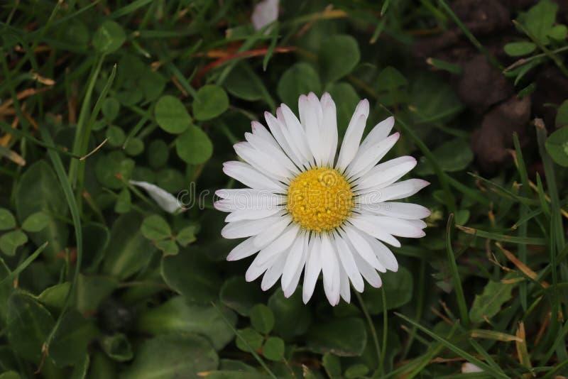 Blanc de fleur de marguerite sur l'herbe image libre de droits