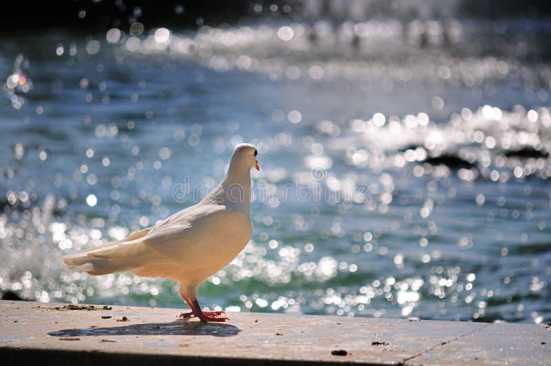 blanc de l'eau de colombe photo stock