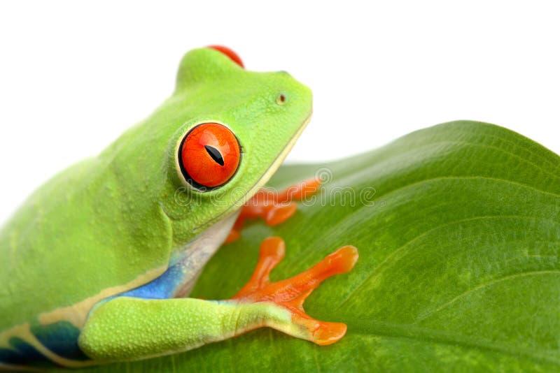 blanc de lame d'isolement par grenouille photographie stock