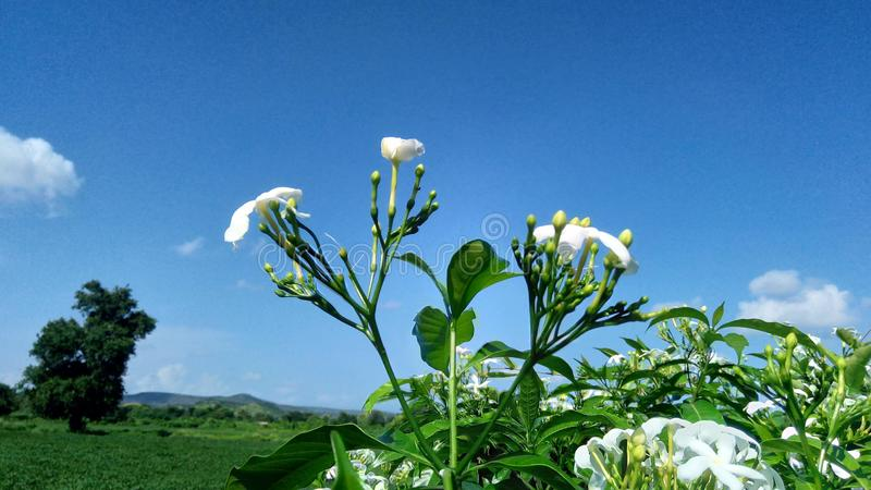 Blanc de microphotographie de fleurs et fermes vertes d'arbres de collines et ciel bleu photographie stock