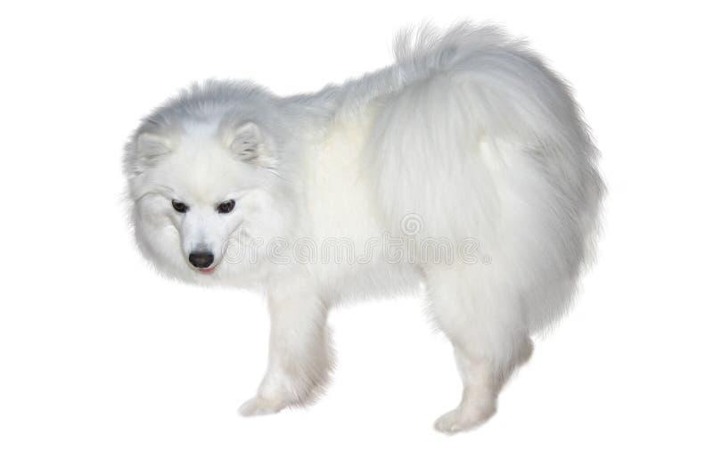Download Blanc de neige image stock. Image du chiot, beau, canines - 744945