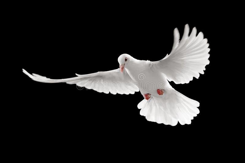 blanc de pigeon photos libres de droits