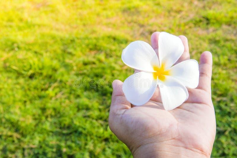 Blanc de Plumplain dans des mains photos libres de droits