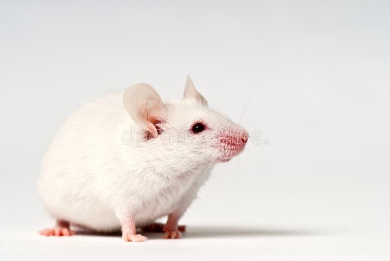 blanc de souris image stock