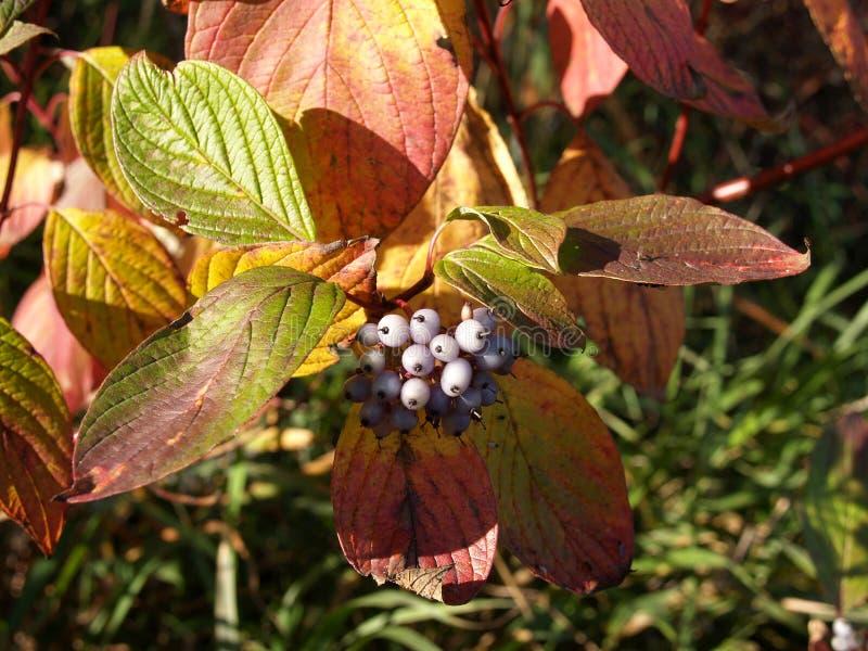 Blanc de swida d'automne de branche avec des baies photos libres de droits