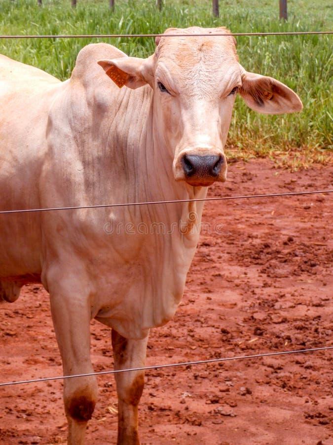 blanc de taureau dans un pâturage avec la boue photographie stock libre de droits