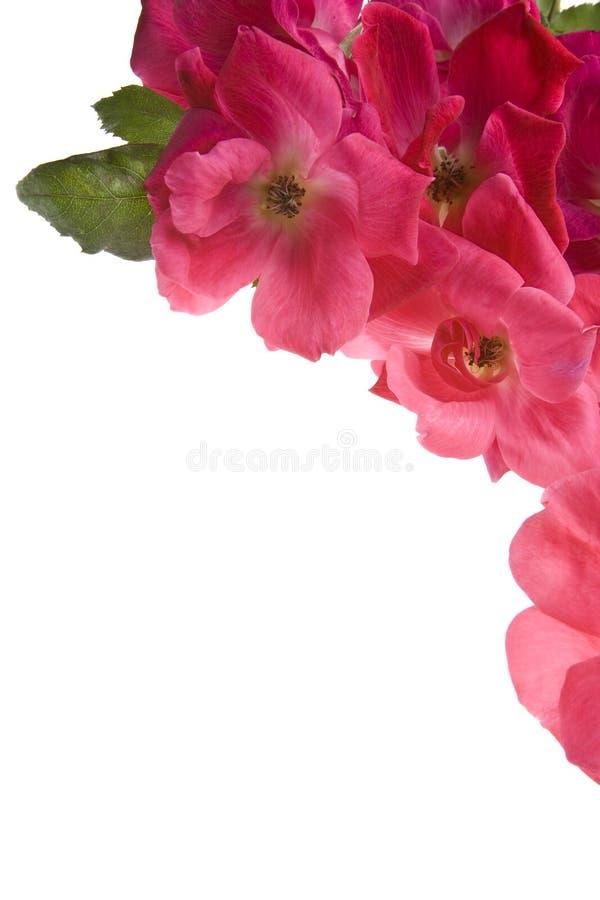 blanc de thé de roses d'isolement par fond antique photographie stock