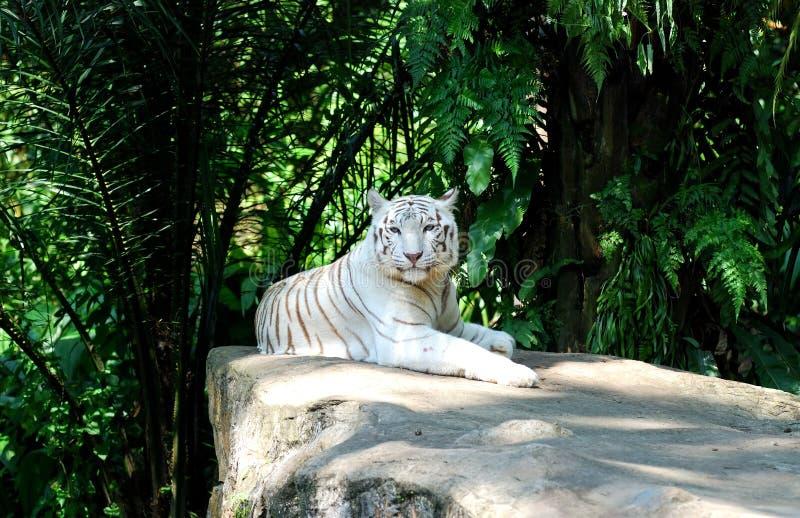 blanc de tigre photo libre de droits