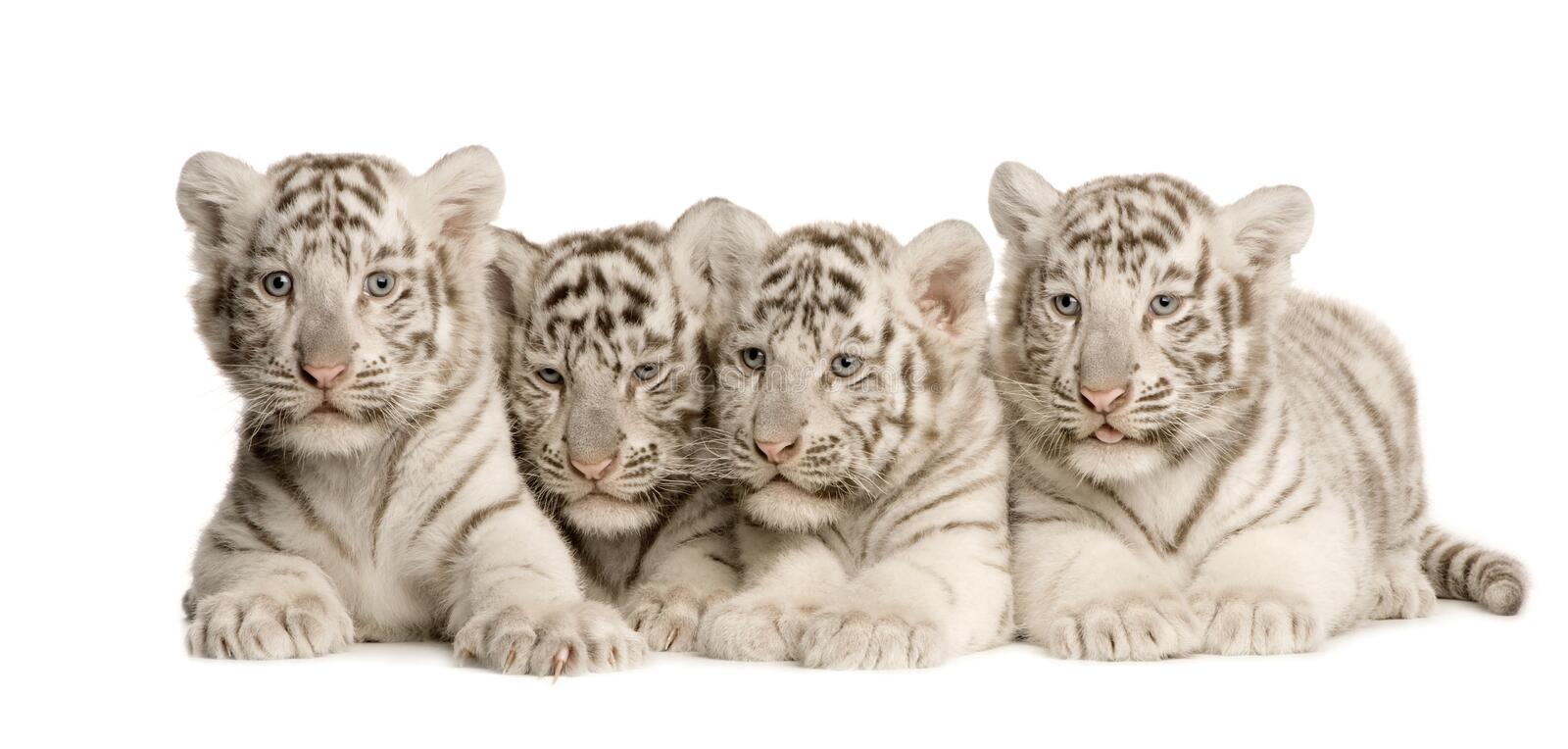 blanc de tigre de 2 mois d'animal photos stock