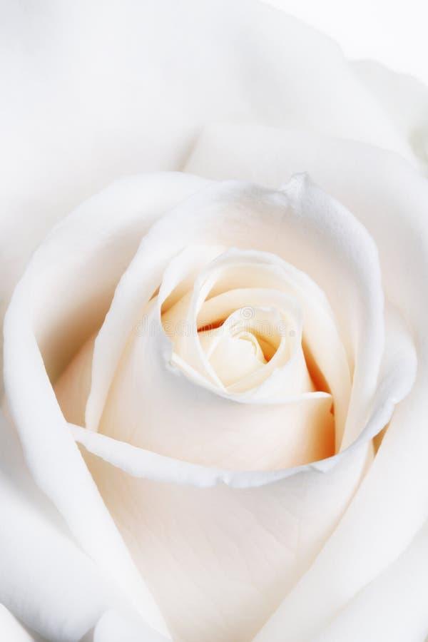 Blanc doux principal élevé Rose d'orientation photographie stock