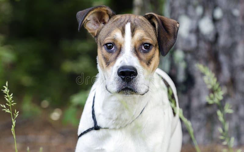 Blanc et chiot mélangé bronzage de race, photo d'adoption d'animal familier de refuge pour animaux image stock
