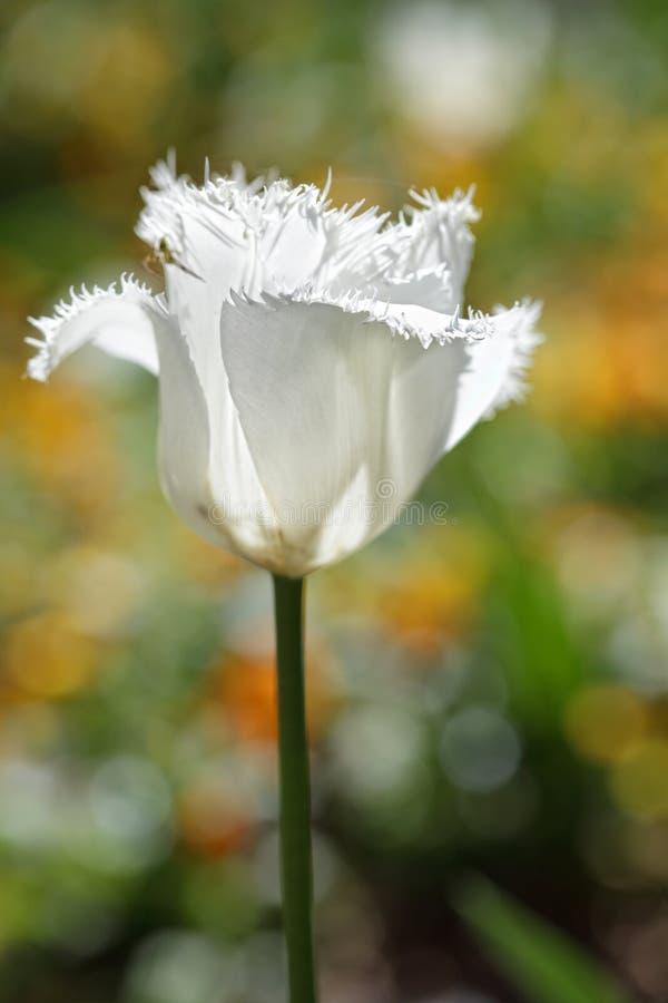 Blanc froncé hérissé au printemps g de tulipe de perroquet photographie stock