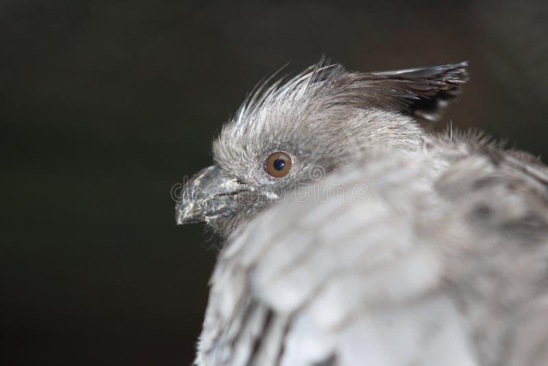 Blanc-gonflé vont-loin l'oiseau image stock