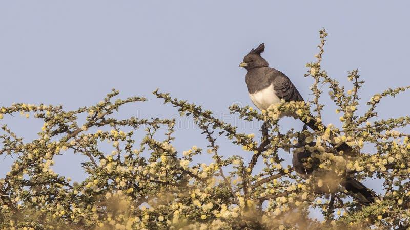 Blanc-gonflé vont-loin l'oiseau sur le bosquet photographie stock