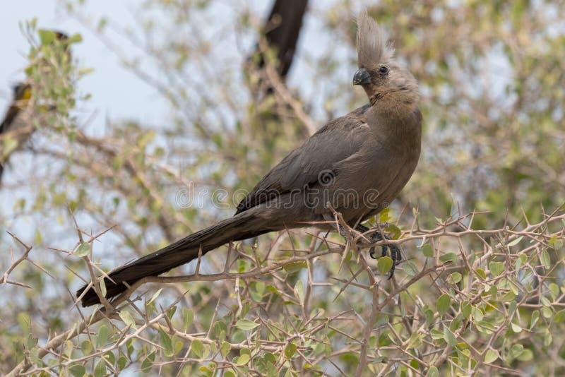 Blanc-gonflé vont-loin oiseau en parc national d'Etosha photo libre de droits