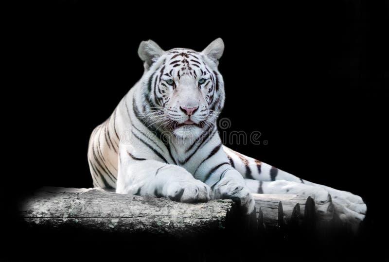 Blanc le tigre de Bengale images libres de droits