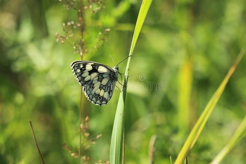 Download Blanc marbré buttefly image stock. Image du nature, papillon - 76088907