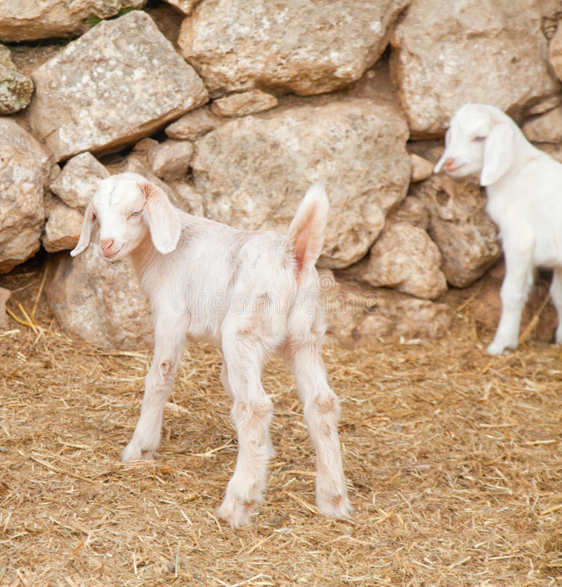 Blanc mignon goatling photo stock