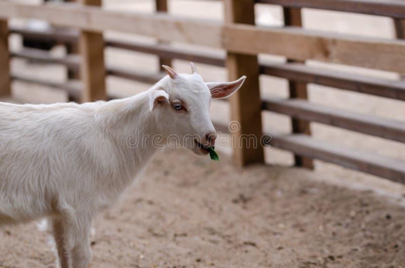 Blanc mignon goatling image libre de droits