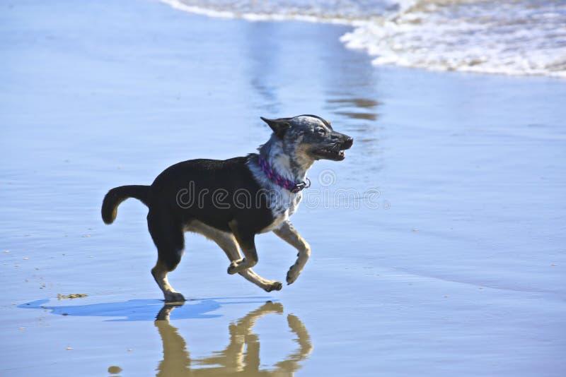 Blanc noir de chien image stock
