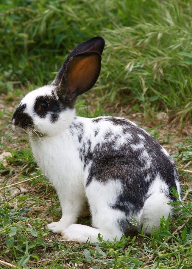 blanc noir de lapin photographie stock