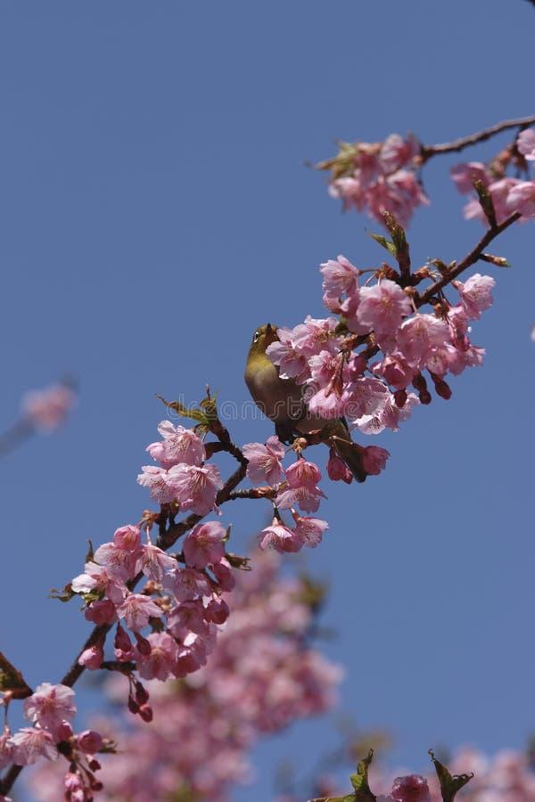 Blanc-oeil Montane avec des fleurs de cerise image libre de droits
