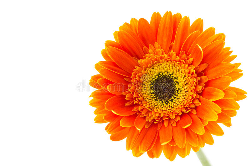 blanc orange d'isolement par gerbera de fleur de fond photos stock