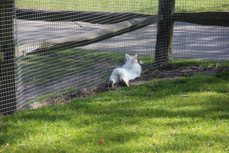 Blanc pelucheux mignon peu de lapin du dos dans le petit zoo Printemps dans le jardin d'agrément de Keukenhof, Pays-Bas photo libre de droits