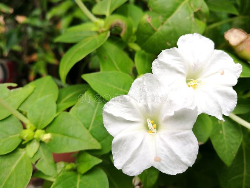 Blanc quatre O& x27 ; fleur d'horloge images stock