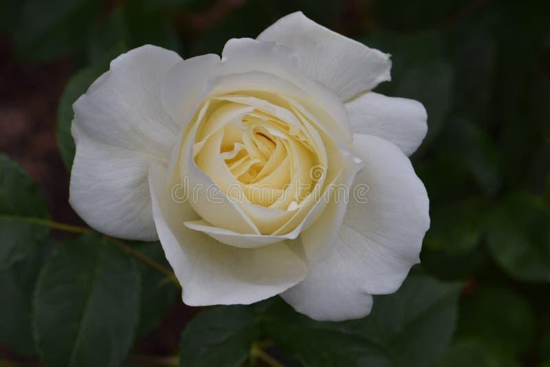 Blanc Rose Flower 02 de Moondance photos libres de droits