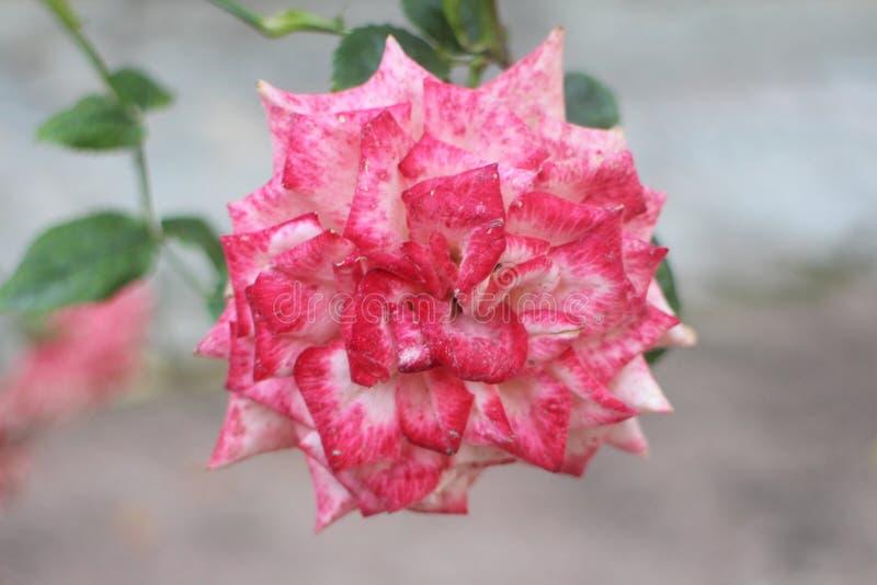 Blanc-rose s'est levé image stock