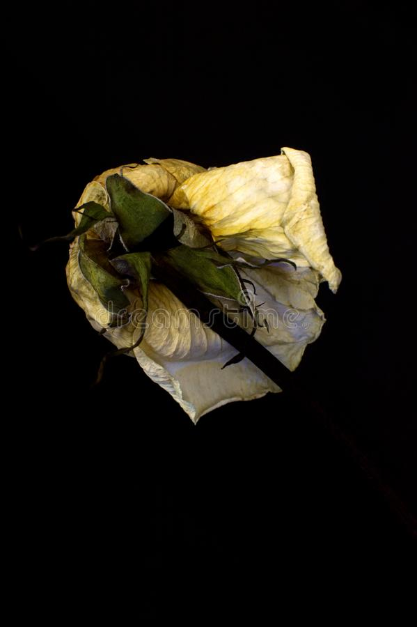 Blanc séchez rose photographie stock libre de droits