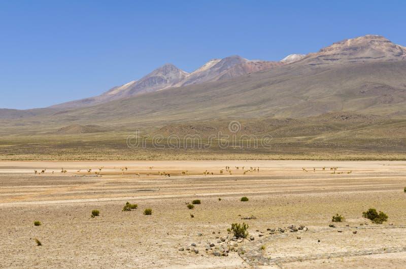 Blanca de la pampa de Laguna imagen de archivo