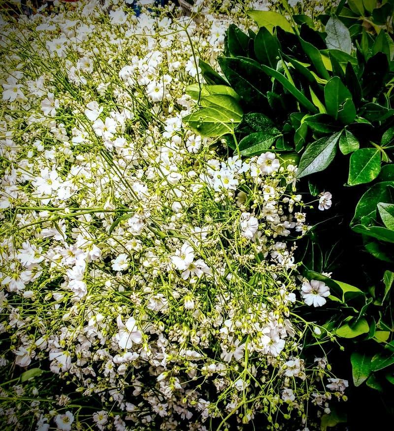 Blancas de Flores image libre de droits