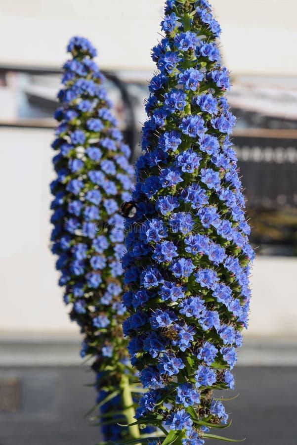Blanchissant la contusion, les candicans d'echium est une usine de jardin d'agrément d'île de la Madère images libres de droits