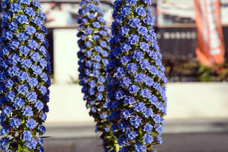 Blanchissant la contusion, les candicans d'echium est une usine de jardin d'agrément d'île de la Madère image stock