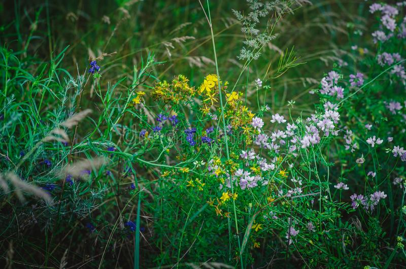 Blanco, amarillo, lila, hierba de prado rosada en un campo del verano Hierbas medicinales multicoloras en un campo del país Macro foto de archivo