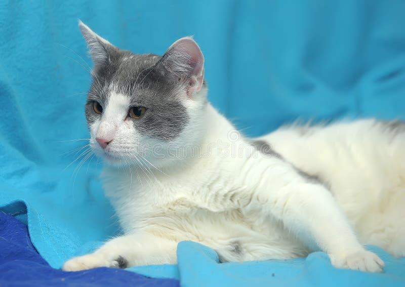 Blanco con el gato gris con los ojos anaranjados fotos de archivo libres de regalías