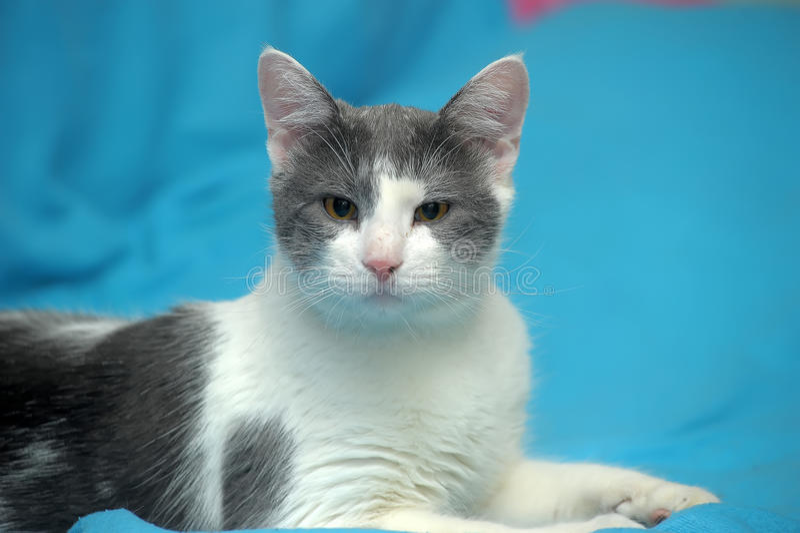 Blanco con el gato gris del shorthair fotos de archivo libres de regalías