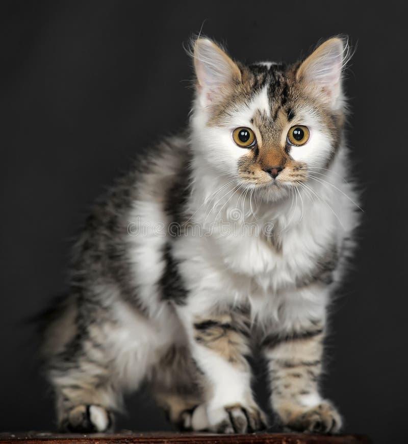 Blanco con el gato rayado de los puntos imagen de archivo