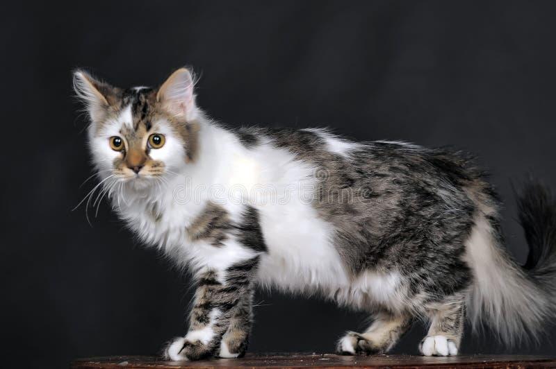 Blanco con el gato rayado de los puntos imagen de archivo libre de regalías