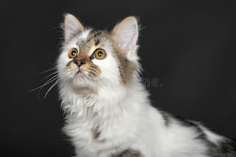 Blanco con el gato rayado de los puntos foto de archivo libre de regalías