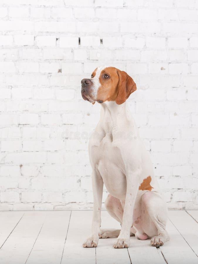 Blanco con el perro inglés rojo del indicador se sienta en un estudio de la foto en el fondo de la pared de ladrillo blanca foto de archivo libre de regalías