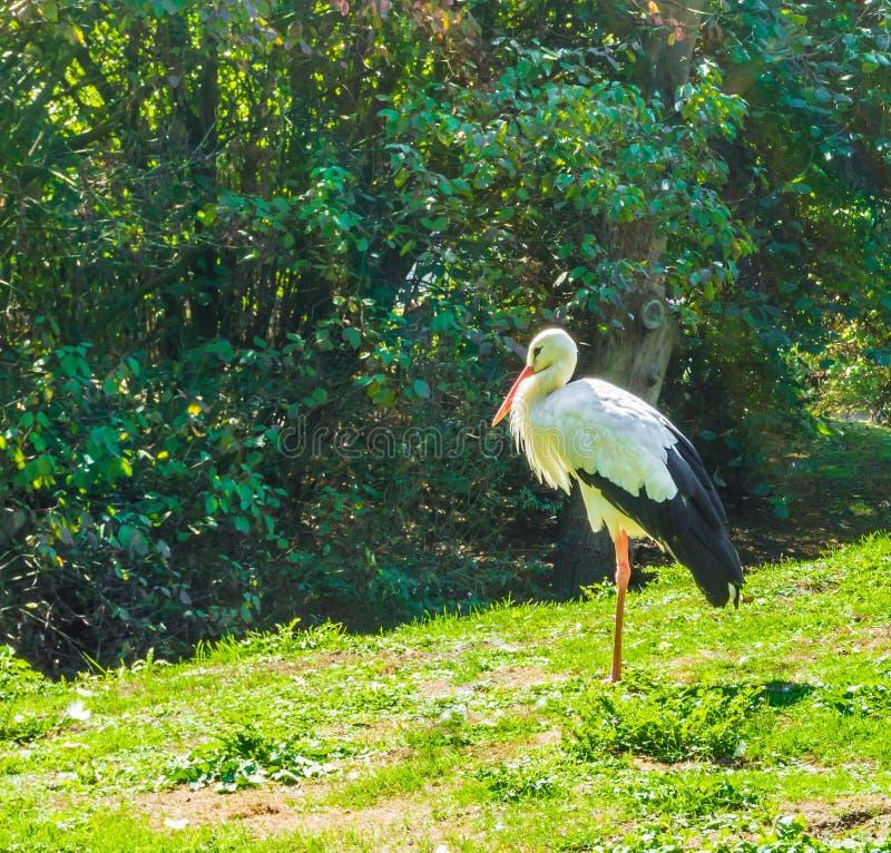 Blanco con la cigüeña negra de una pequeña distancia en una escena del paisaje del bosque fotografía de archivo libre de regalías