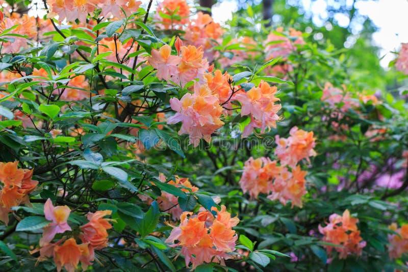 Blanco con la naranja y el rosa salpica el rododendro imagen de archivo