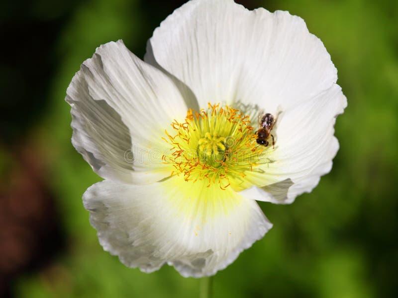 Blanco de la cabeza de flor de la amapola con la abeja foto de archivo libre de regalías