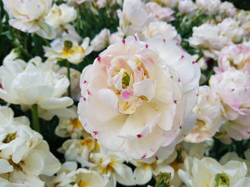 Blanco del tulip?n Flores blancas de la primavera de la floración en el jardín Flores del primer imagenes de archivo