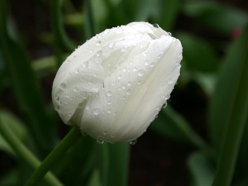 Blanco en verde. Tulipán en la lluvia imagenes de archivo