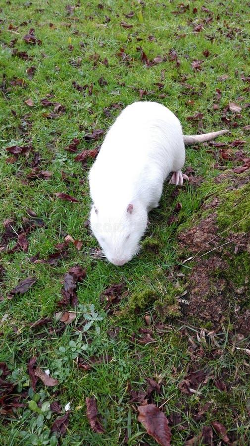 Blanco grande rata-como roedor fotos de archivo libres de regalías