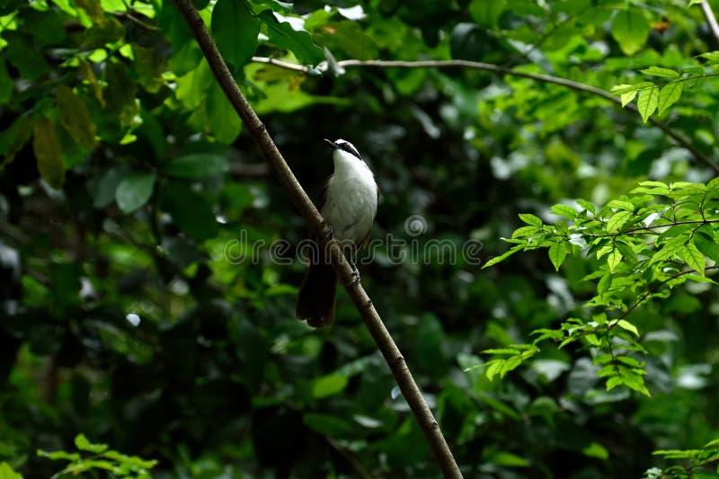 Blanco - laughingthrush con cresta foto de archivo
